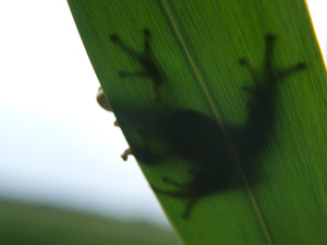 Treefrog from a worm's-eye view