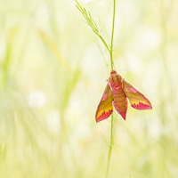 Small Elephant Hawk-moth