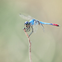 Bicoloured Skimmer