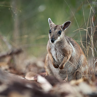 Short-eared rock-wallaby