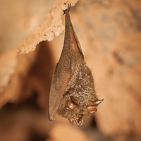 Lesser woolly horseshoe bat