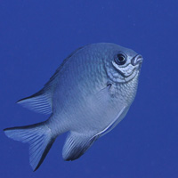 White-belly Damselfish