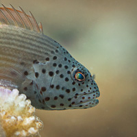 Black-sided Hawkfish